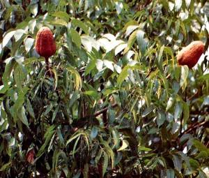 mahoni-pohon