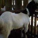 anak-kambing-etawa-5