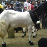 lomba kambing etawa