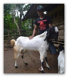 induk kambing etawa