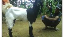 anak kambing etawa
