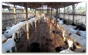 kambing etawa kaligesing