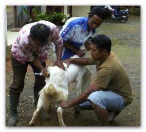 penyakit kambing etawa