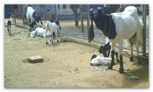 kambing perahan etawa