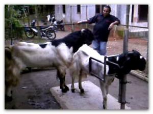 kambing kawin