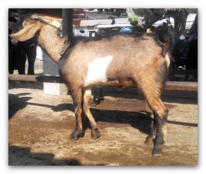 kambing jawa randu