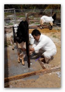 kambing etawa pekanbaru